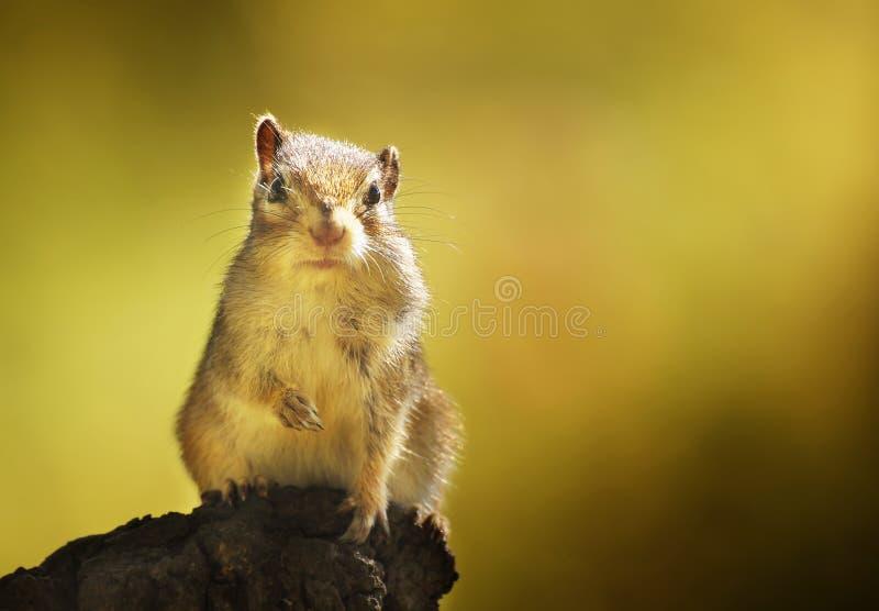 Chipmunk in the autumn woods