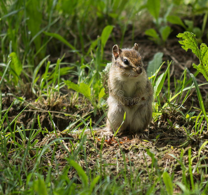 Download Chipmunk stock image. Image of mammals, garden, claws - 34463081