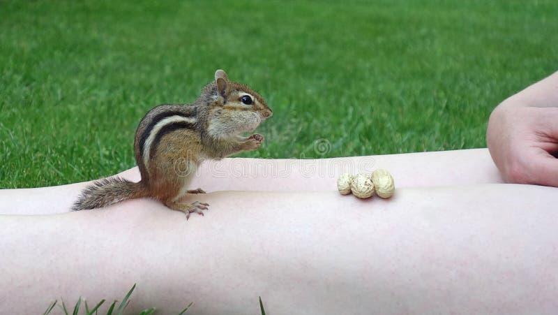 Chipmunk Bierze arachidy Od osoby obrazy stock