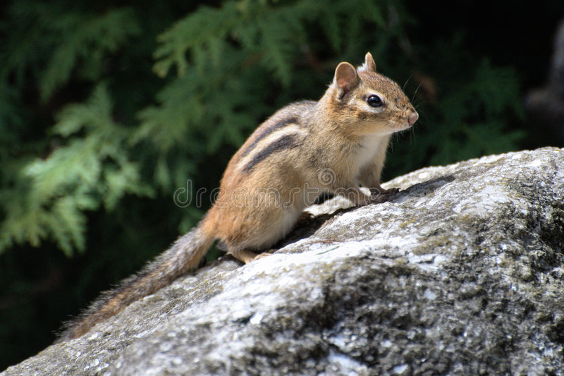 Download Chipmunk on boulder stock photo. Image of ecology, furry - 9180836
