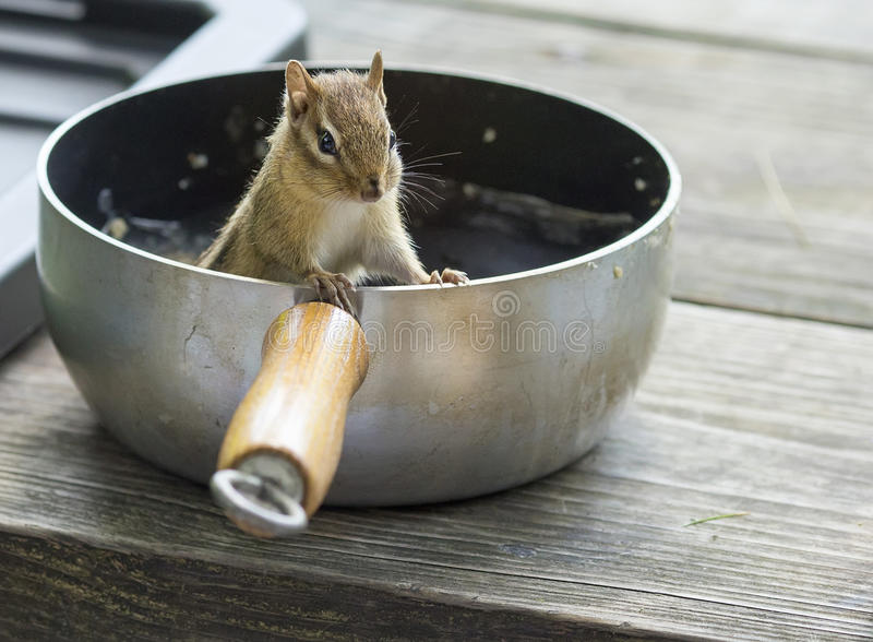 Chipmunk in camping pot. A sneaky chipmunk stealing food out of a camping pot royalty free stock photography