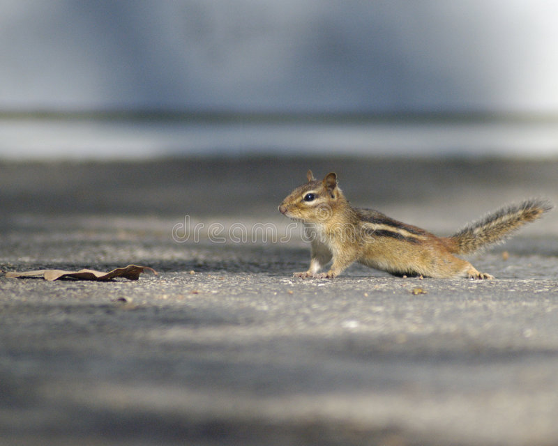 Chipmunk caught in its tracks royalty free stock image