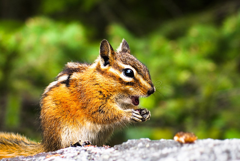 Chipmunk coraggioso fotografia stock libera da diritti