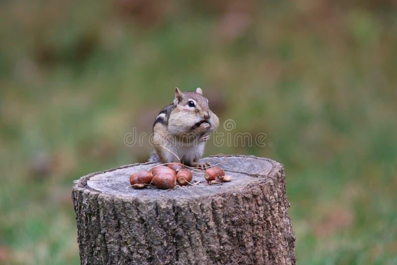 Chipmunk de l'Est en automne bourrés d'cornes dans les pochettes de Cheek Pouches photographie stock