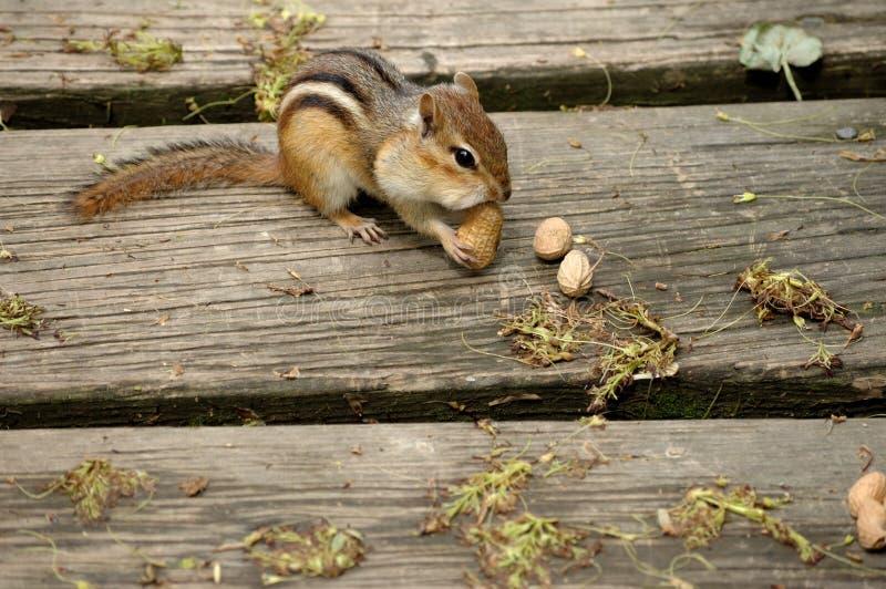 Chipmunk, der Erdnuss isst. lizenzfreies stockbild