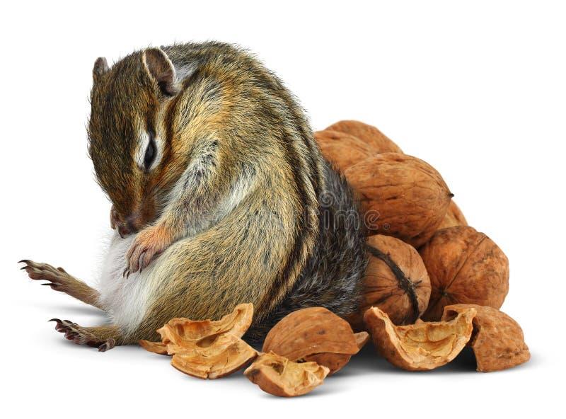Chipmunk divertente di eccesso di cibo con le noci fotografia stock libera da diritti