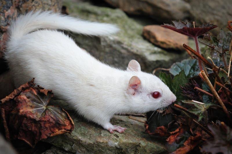 Chipmunk do albino imagem de stock royalty free