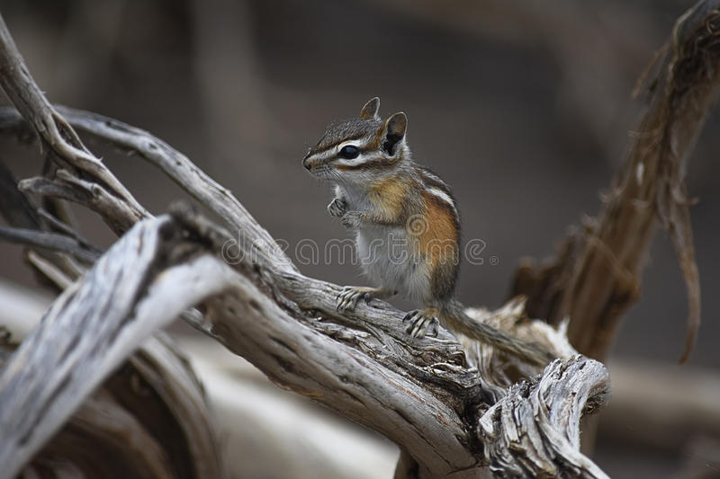 Chipmunk On Driftwood. With Soft Gray Background royalty free stock photography