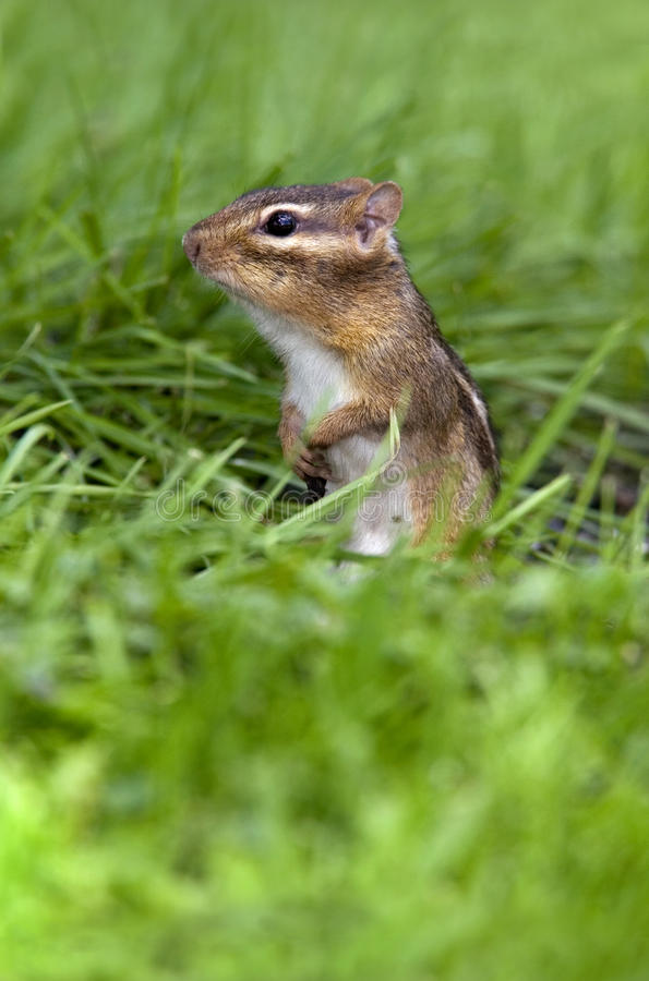 Chipmunk (Eastern) Royalty Free Stock Images