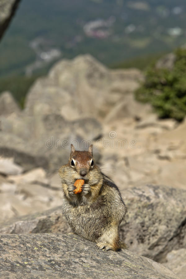 Download Chipmunk Eating Nut stock photo. Image of mountain, landscape - 15479306