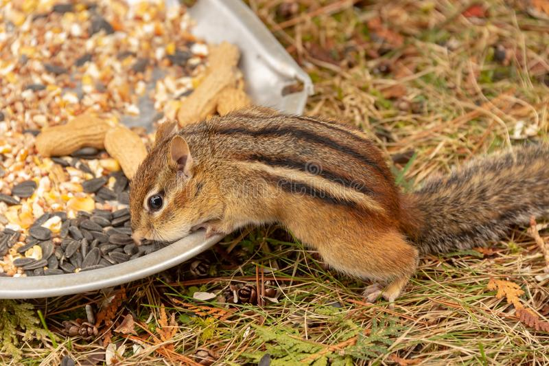 Chipmunk in Quebec, Canada. Chipmunk eating nuts and seeds in Quebec, Canada royalty free stock photos