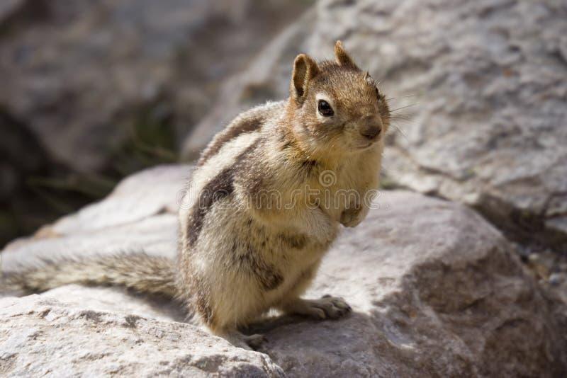 Chipmunk em uma rocha foto de stock