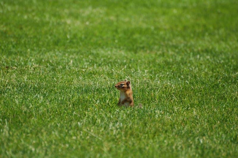 Chipmunk en la hierba imágenes de archivo libres de regalías
