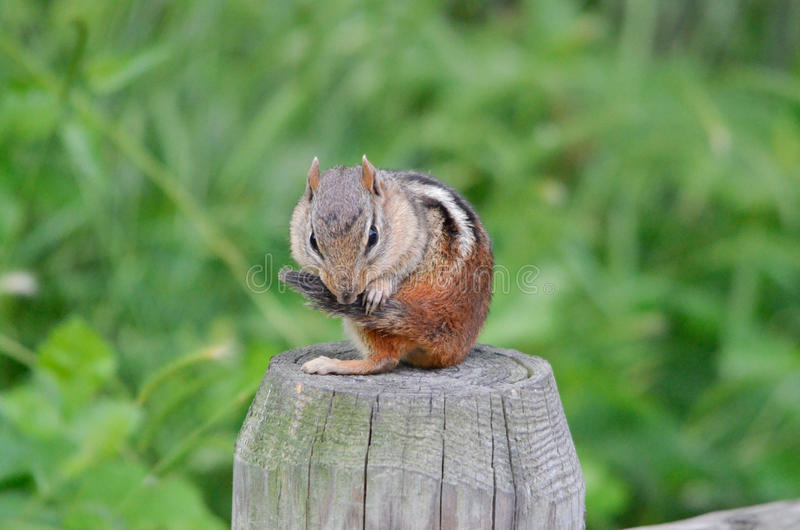 Chipmunk on a fence post 2 stock images