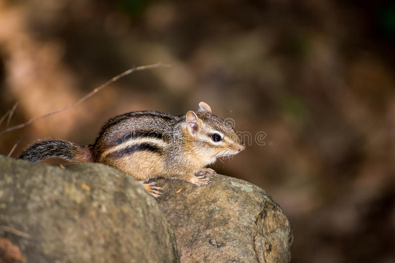 Chipmunk. In the forest on a rock stock images