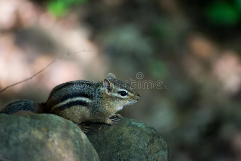 Chipmunk. In the forest on a rock stock photo