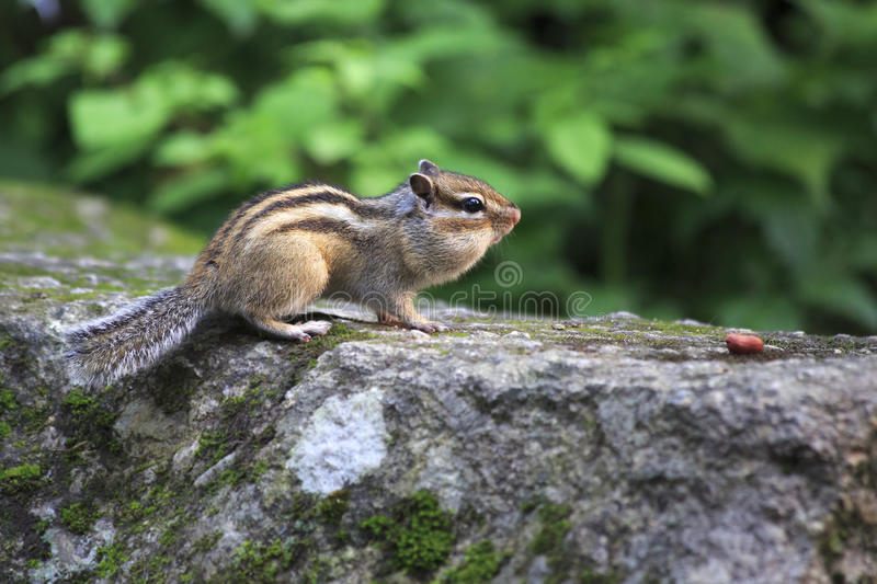 Chipmunk With Full Cheeks Crawling For Nuts. Royalty Free Stock Images
