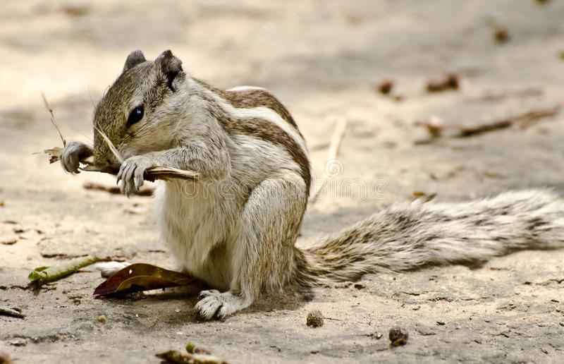 A chipmunk gnawing on twigs. A chipmunk indian palm squirrel gnawing on a twig stock photo