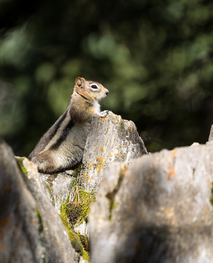 Chipmunk / ground squirrel royalty free stock images