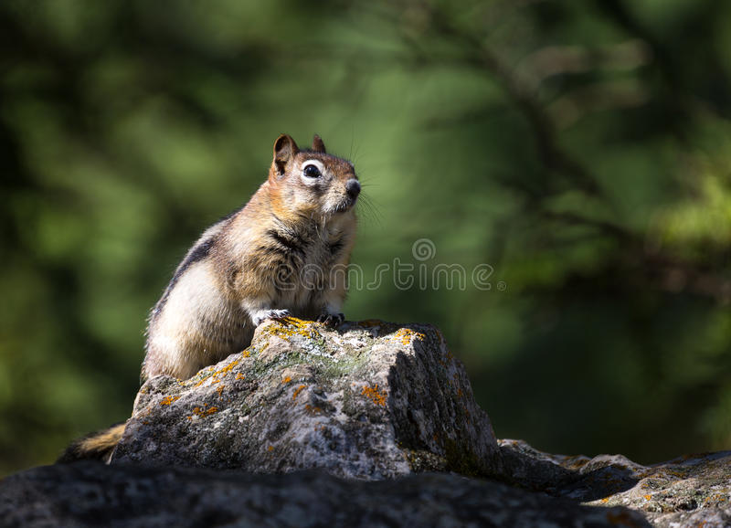 Chipmunk / ground squirrel stock photography