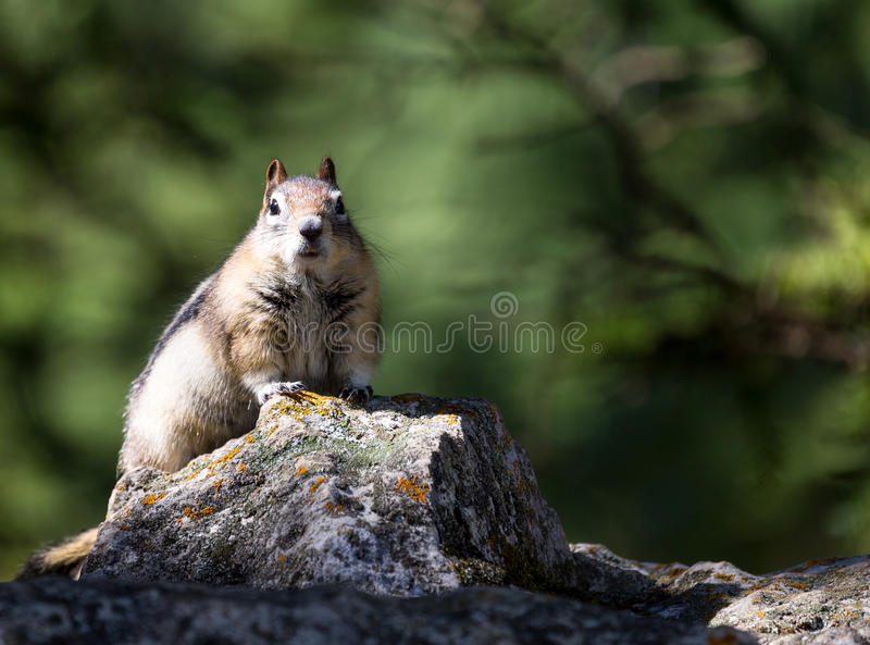 Chipmunk / ground squirrel stock photography