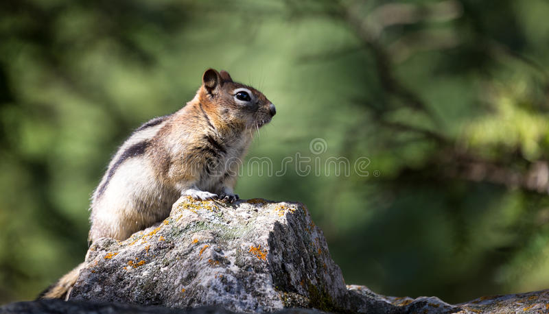 Chipmunk / ground squirrel royalty free stock image