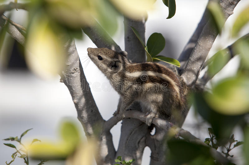 Chipmunk hiding in the foliage. India stock photo