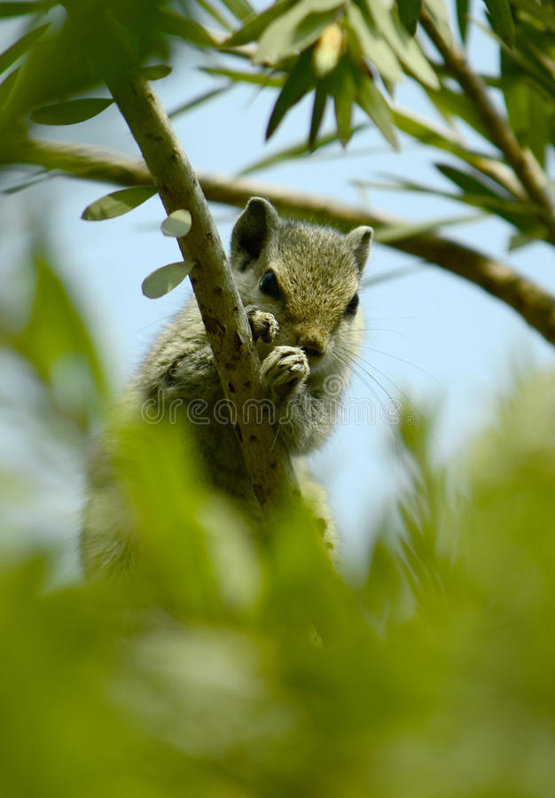 Chipmunk Hiding in a Tree!. Cute and scared chipmunk hiding in the tree bushes