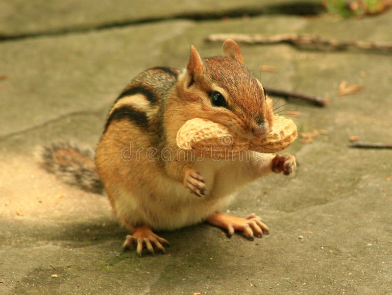 Chipmunk Humor. A humorous pose of a chipmunk with a peanut royalty free stock photos