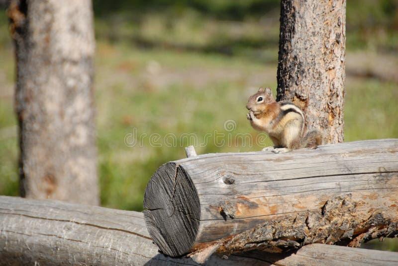 Chipmunk on Log stock image
