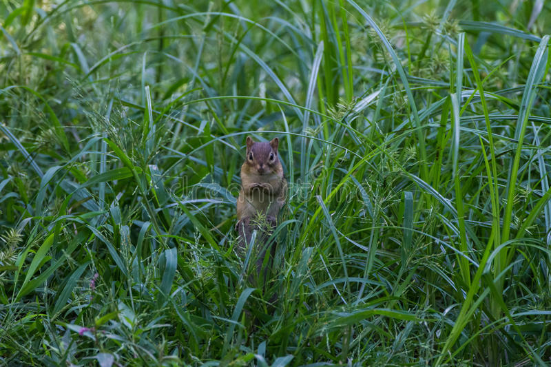 Chipmunk meadow. Cute fuzzy brown and amber chipmunk in a meadow with tall green grasses stock image