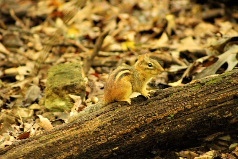 Chipmunk mignon sur le logarithme naturel photos libres de droits