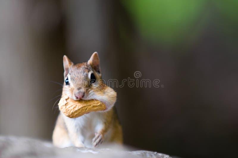 Chipmunk mit Erdnuss stockbilder