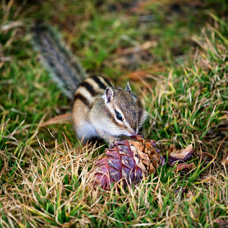 Chipmunk in nature royalty free stock photos