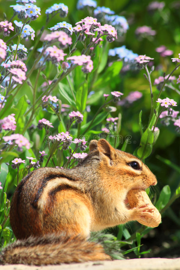 Chipmunk no jardim de flor fotos de stock royalty free
