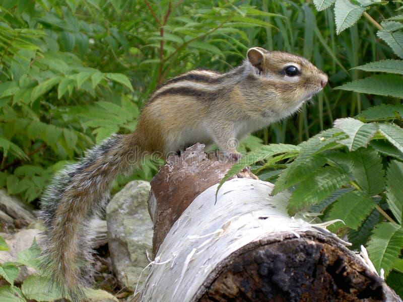 Chipmunk no tronco de árvore fotos de stock