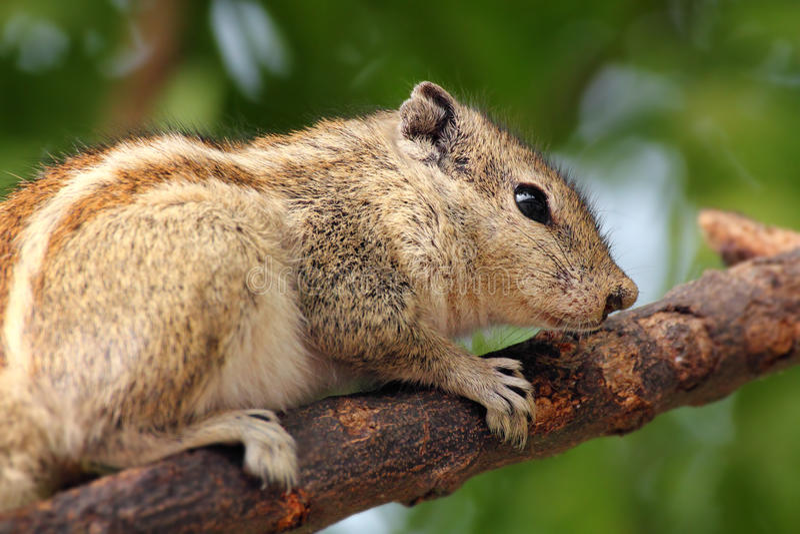 Download Chipmunk Obsiadanie Na Gałąź Obraz Stock - Obraz złożonej z fauny, ciekawy: 28973647