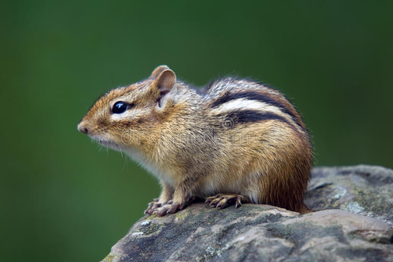 Chipmunk oriental photographie stock