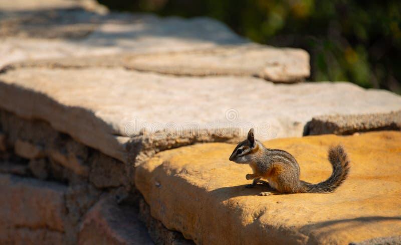 chipmunk Parc national de canyon grand photographie stock