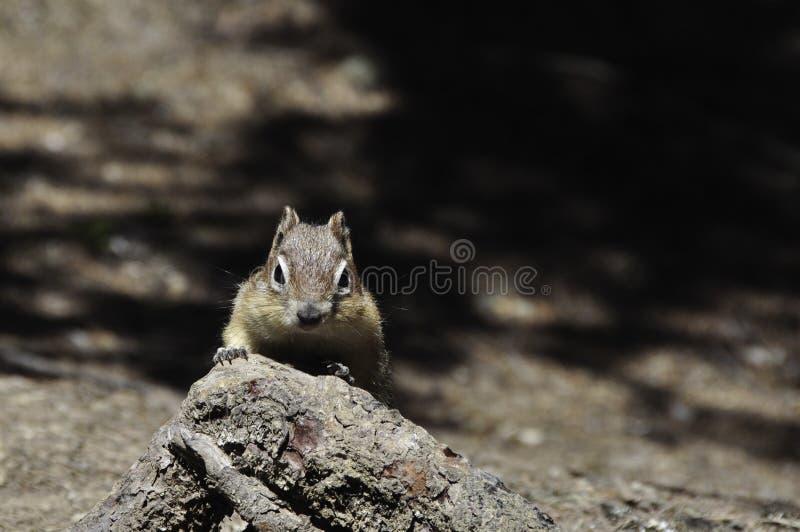 Chipmunk patrzeje kamerę zdjęcie stock