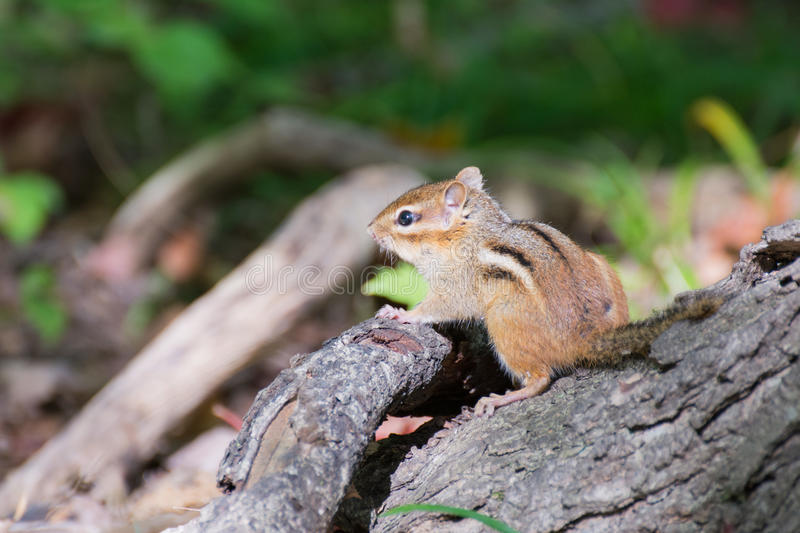 Chipmunk Perched On A Stump royalty free stock photography