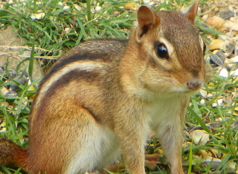 `Chipmunk Playing Invisible` 2014 royalty free stock photo