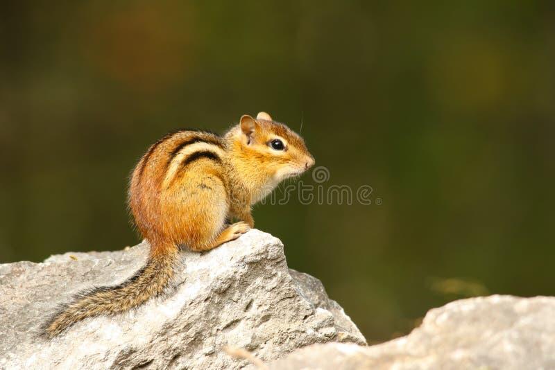 Chipmunk Pozuje na skale fotografia stock