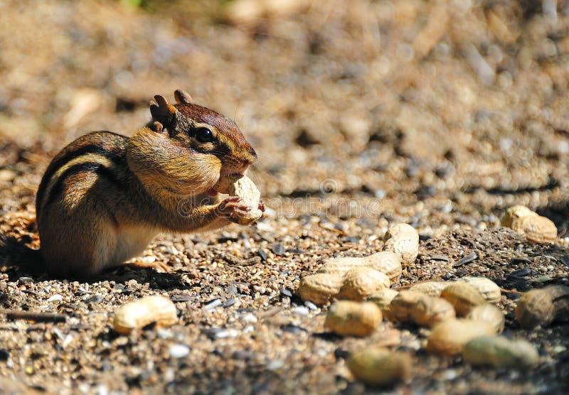 Chipmunk que recolhe amendoins fotos de stock royalty free