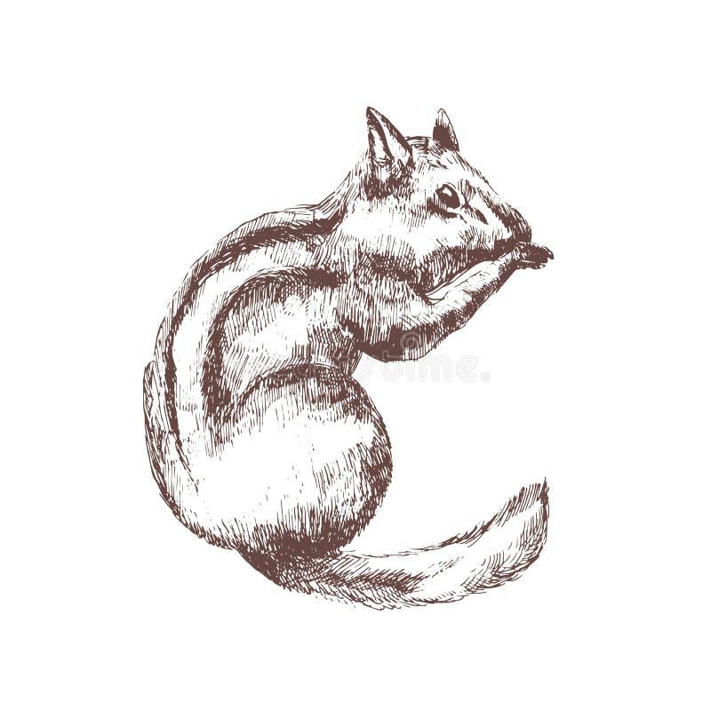 Chipmunk ręka rysująca z konturowymi liniami na białym tle Monochromatyczny nakreślenie rysunek śliczny dziki lasowy ślepuszonki  royalty ilustracja