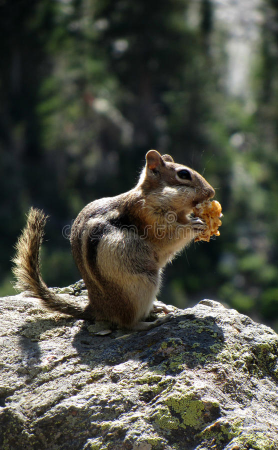 A Chipmunk in Rocky Mountain National Park. A chipmunk eating in Rocky Mountain National Park.Colorado stock photography
