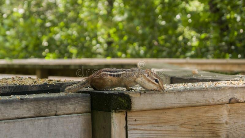 Chipmunk Rozciągający out na poręczu zdjęcie royalty free