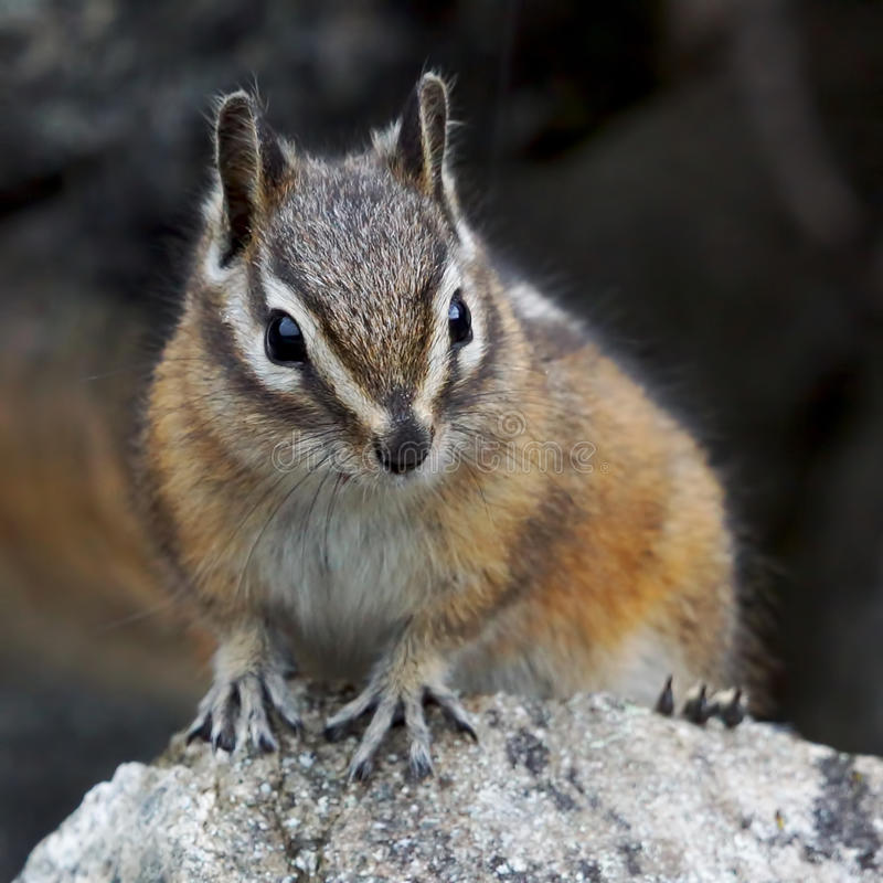 Chipmunk. A small Chipmunk clings to a boulder while searching the area for food stock images