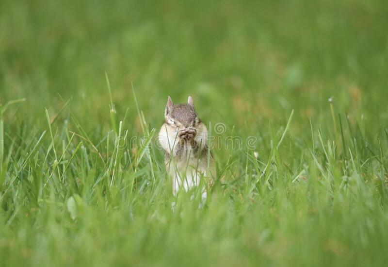 Chipmunk with Summer Allergies stock photography