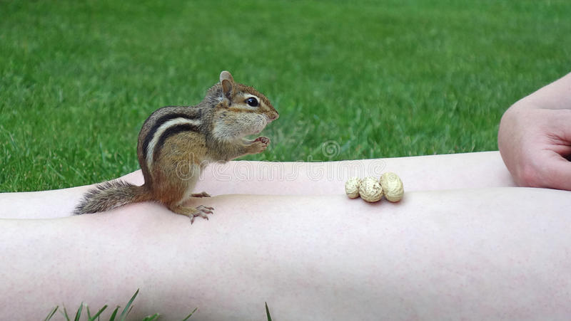 Chipmunk Taking Peanuts From Person stock images